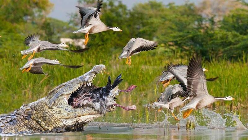 CROCODILE AMBUSH BIRDS | Safari Diaries