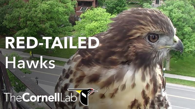 США Гнездо Краснохвостого сарыча Cornell Lab