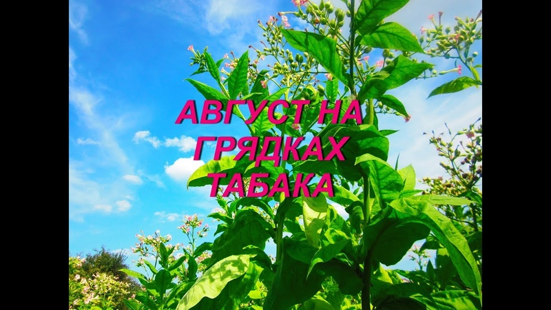 АВГУСТ ГРЯДКИ ТАБАКА № 84