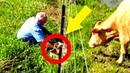 Diese Kuh verhält sich merkwürdig, dann begreift ein Mann – Sie braucht sofort Hilfe!