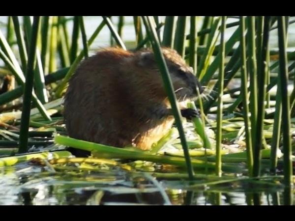Видео о природе водяная крыса