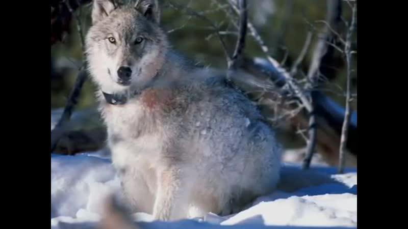 Чернила для 5 класса Волчья кровь