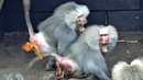 Baboon Hold Her Baby Tightly After Giving Birth