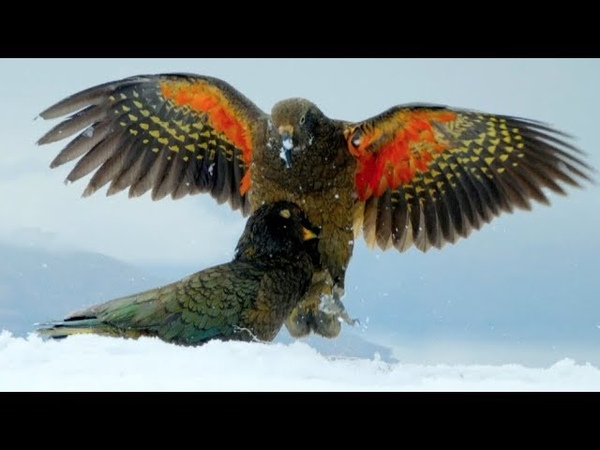 Kea Parrots Play With Snowballs Discover One To Be Particularly Intriguing