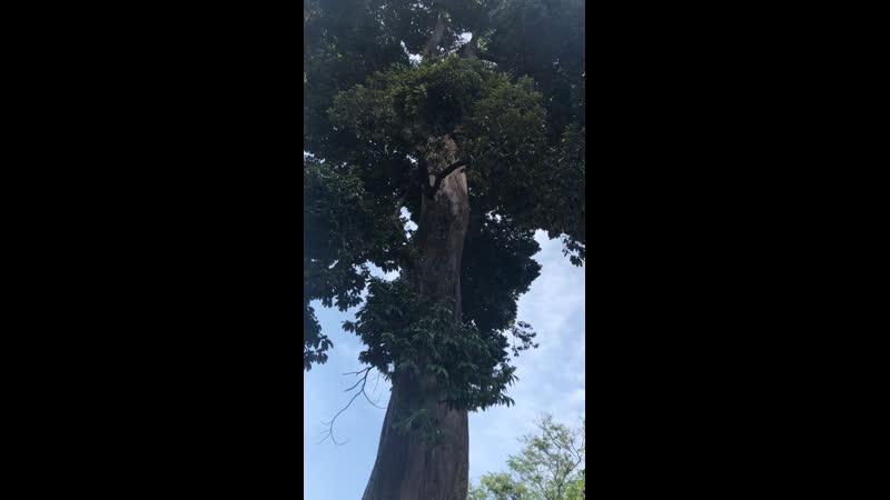 Шри Ланка дерево Дуриан