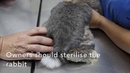 У самца кролика моча с кровью Почему A male rabbit pees bloody urine Why
