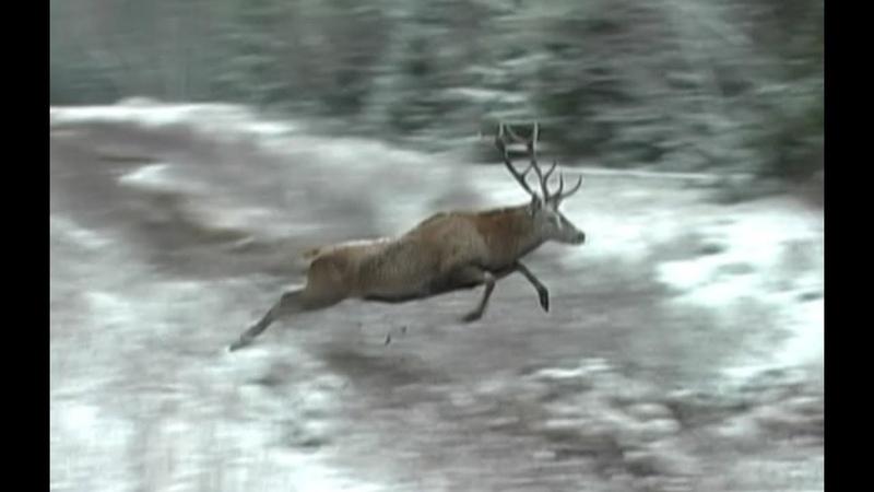 Охота на кабана и косулю. Загонная охота в Беларуси часть 2.