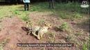 Индийские спасатели научили парализованного леопарда снова ходить