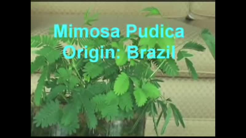 Mimosa Pudica The Sensitive