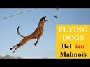 SUPERPOWER DOG ⭐️ EXTREME MALINOIS Dogs ⭐️JUMPING Belgian Shepherd🔎 COMPILATION FACTS