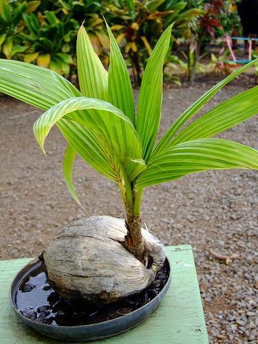 Кокос орехоносный Кокосы орехоносные - экзотические кустовидные перистолистные пальмы. Листья кокоса орехоносного: молодые листья длинные, широкие, достаточно жесткие, глубоко вырезанные. Цветы
