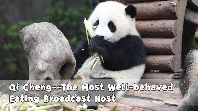 Qi Cheng--The Most Well-behaved Eating Broadcast Host | iPanda