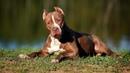 5 ФАКТОВ о собаках породы ПИТБУЛЬ