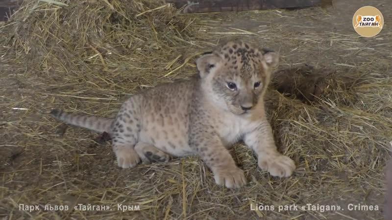 Челябинская львица Лола и малыши _) Тайган _ Chelyabinsk lioness Lola and cubs _