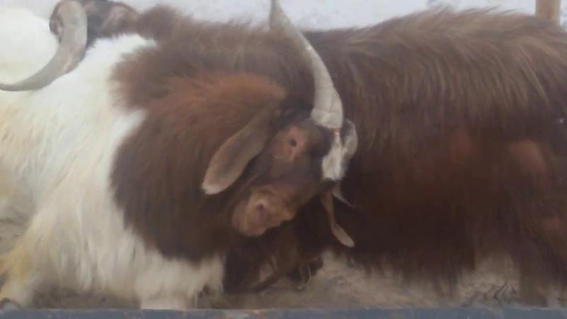 استعراض لقوة ماعزالبورBoer Goats