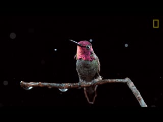 See hummingbirds fly, shake, drink in amazing slow motion _ national geographic