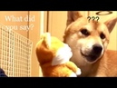 Shiba Inu Dog's Reaction to Talking Toy - whispering is a better communication method