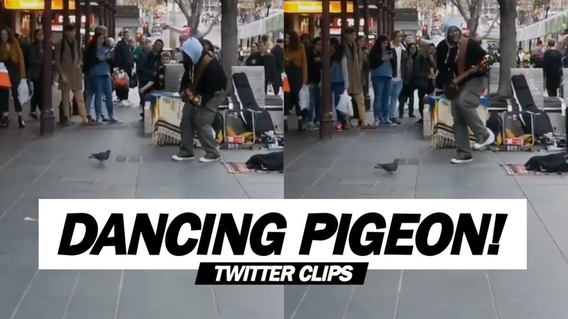 Pigeon Dances With A Street Singer! (Robin Thicke's - Blurred Lines)