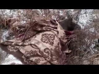 В кемеровской области к людям вышел лось с огнестрельными ранениями