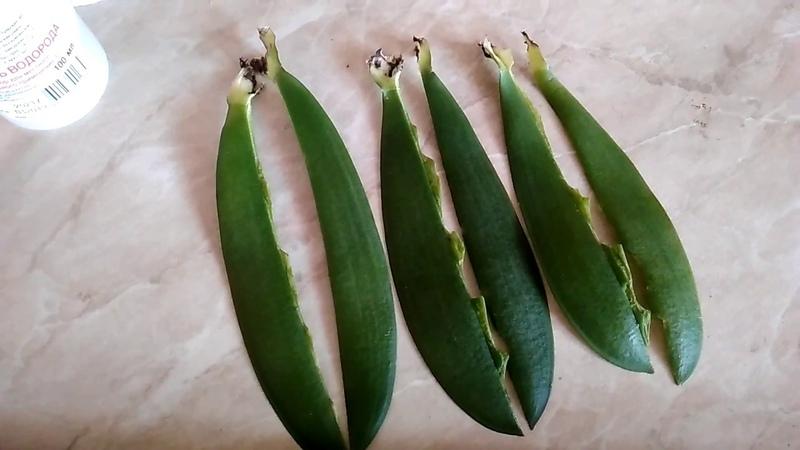 Орхидея Ред Лип сняла еще три листа зачистила продолжение