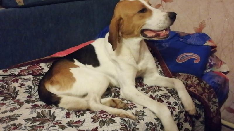 Найден пёс Порода гончая