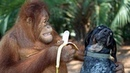 СМЕХА ДО СЛЕЗ! 😂смешные обезьяна играет с собакой и кошкой