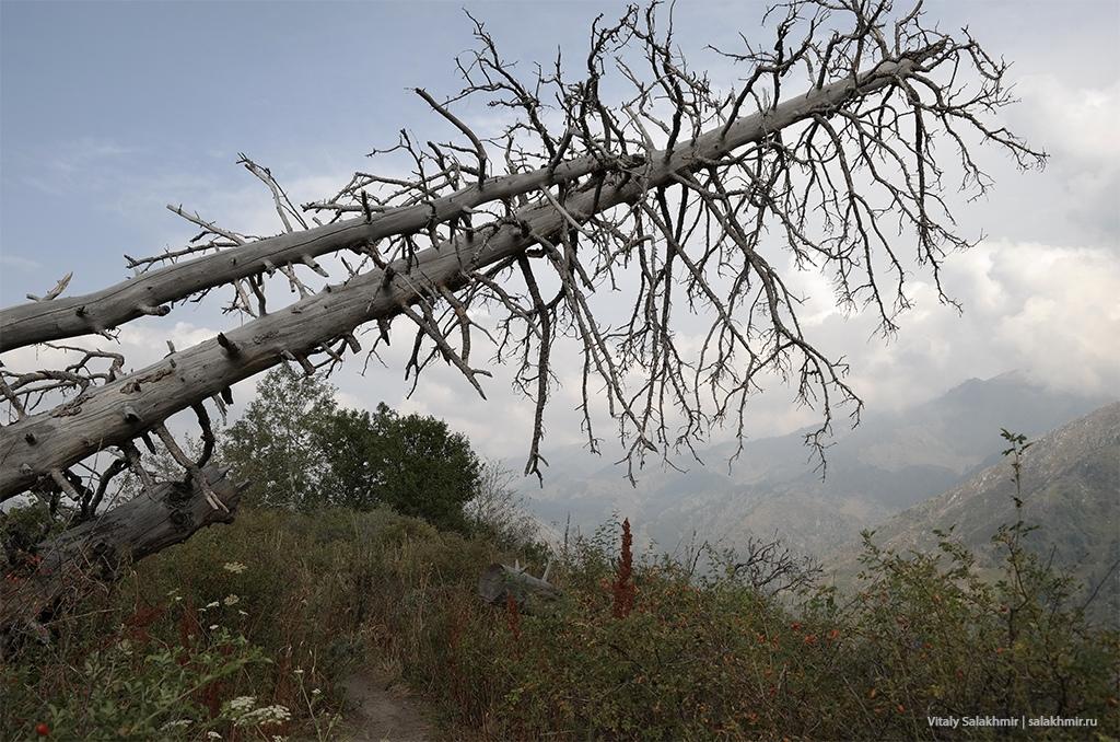 Засохшее дерево в горах Алматы, Кок-Жайляу 2019