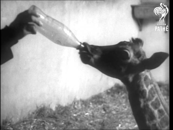 Bottle Fed Baby Giraffe At Taronga Zoo AKA Bottle Fed Baby Giraffe Australia 1964
