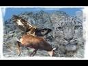 Vua bầu trời trọng thương khi Săn mồi - Linh Dương trượt chân vấp Ngã Từ Vách đá Animals Hunt