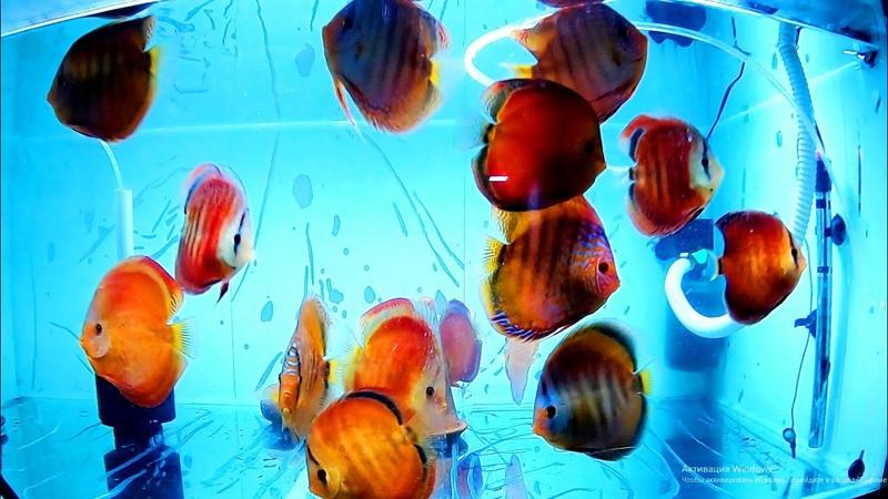 Белореченские дискусы. Небольшая разводенка красивейших рыбок. Остановка на два дня