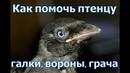 Нашел птенца вороны, галки, грача, сороки, ворона, как помочь и что с ним делать