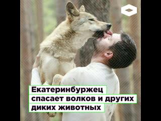 В Екатеринбурге Кирилл Потапов спасает волков и других диких животных    ROMB