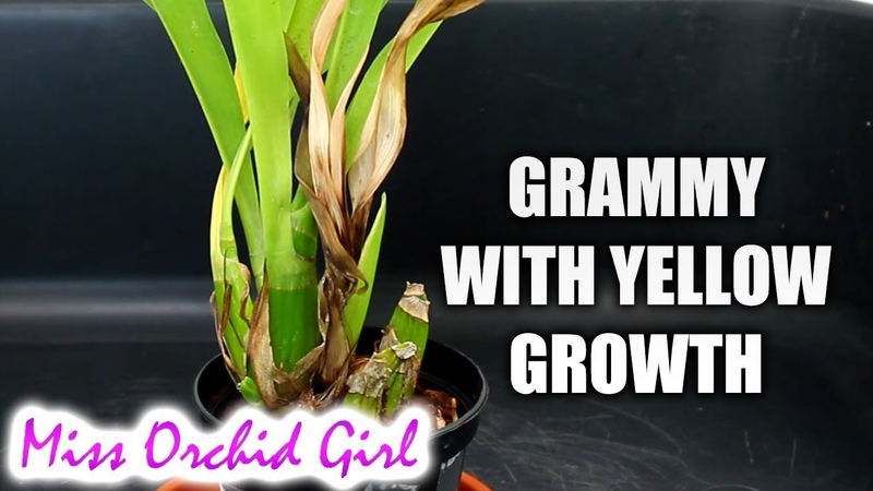 Grammatophyllum Orchid with yellowing new growth - What to do? New series!