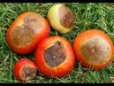 Болезни томатов Вершинная гниль на помидорах и борьба с ними