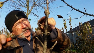 Как формировать и вести колонновидную яблоню с момента посадки и дальше по годам. Часть 1