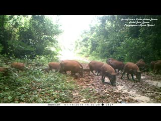 Camera trap in gabon forest_ a red river hogs troop 46 adults 30 very young pigl