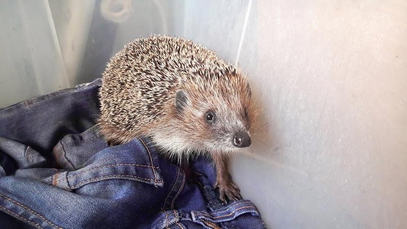 История Шуши Нашли ежика со сломанной лапой Еж ежи ежик ежики hedgehog