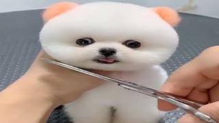 Chó Phốc Mini dễ thương,vui nhộn,ngộ nghĩnh, đáng yêu - Mini Dog is cute,funny,Super cute ,Tiktok #1