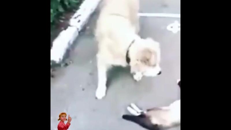 Кот притворщик