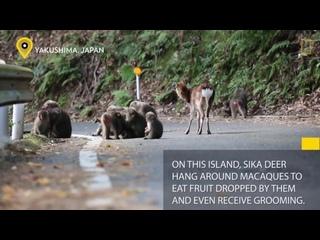 Обезьяна пытается спариваться с оленем (редкое межвидовое поведение) _ National Geographi