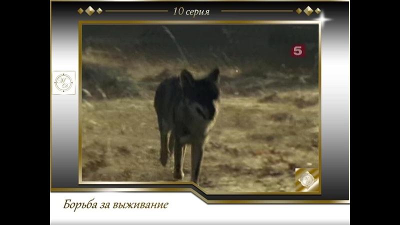 Борьба за выживание 10 серия Волк Испанский изгнанник