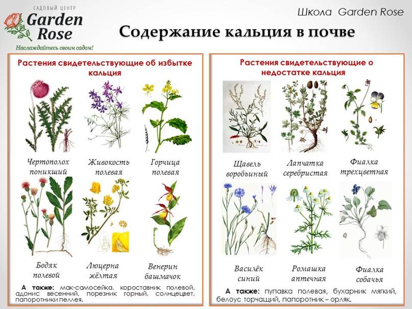 Растения-индикаторы в Вашем саду, изображение №4