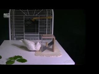Умный попугай создает орудия, чтобы получить пищу