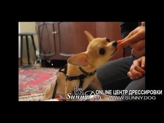 Чем занять собаку Дог-Фитнес чихуахуа - ТОП лучших упражнений для дома!