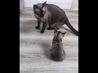 Котенок пытается поиграть с старшим братом