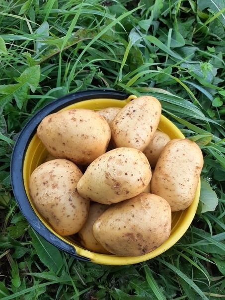 Продам картофель сорта Адретта.170 рублей- 10 литр...