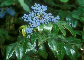 Орегонский виноград, изображение №2