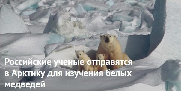 Российские ученые отправятся в Арктику для изучения белых медведей