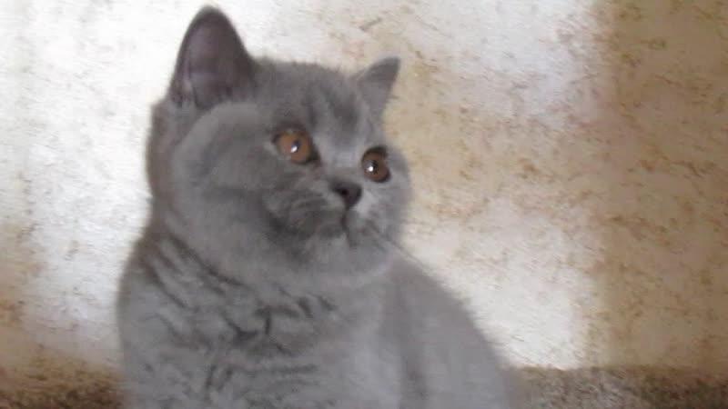 Британские кошки питомника и котята