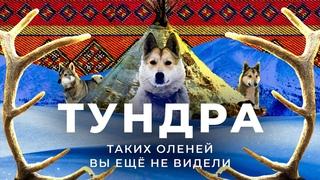 Оленеводы: выживание в -50, убийственные щенки и государственные олени   Древняя цивилизация Тундры